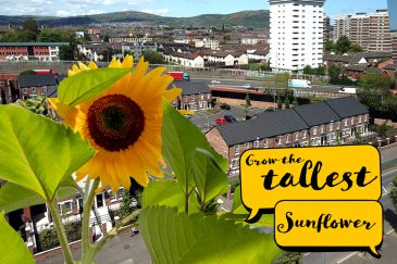 Grow the tallest sunflower in Northern Ireland!